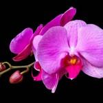 Orhideje – izbor, smještaj u stanu, zalijevanje, razmnožavanje…