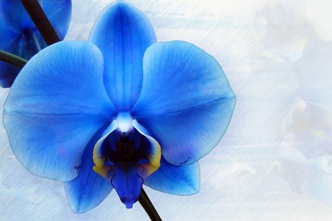 orhideja-2