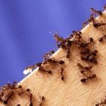 BEZ OTROVNIH PREPARATA: Evo kako se riješiti mrava u kući na prirodan način