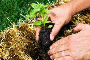 MODERNO VRTLARENJE: Uzgajanje povrća u balama slame [FOTO]
