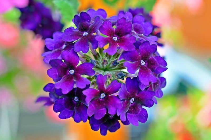 VERBENA: Izuzetno dekorativna biljka, savršeno cvijeće za balkon