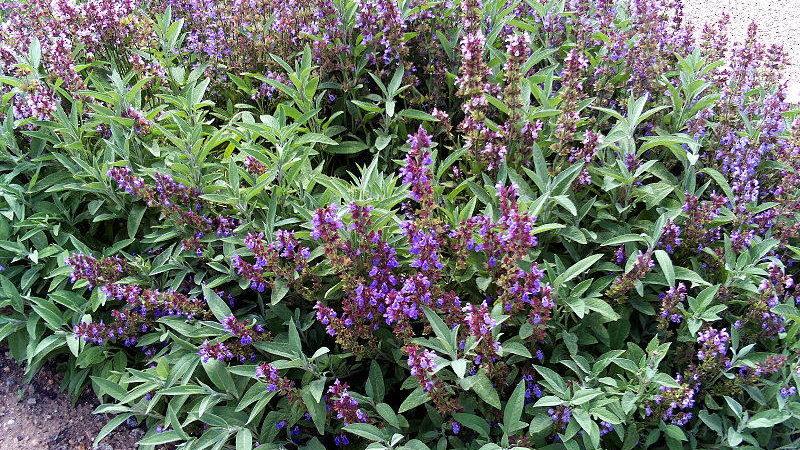 KADULJA (Salvia officinalis) – jedna od najljekovitijih biljaka na planetu
