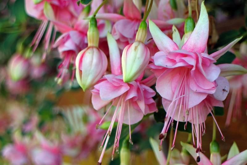 FUKSIJA: Nekoliko praktičnih savjeta za uzgoj i njegu ovog lijepog cvijeća