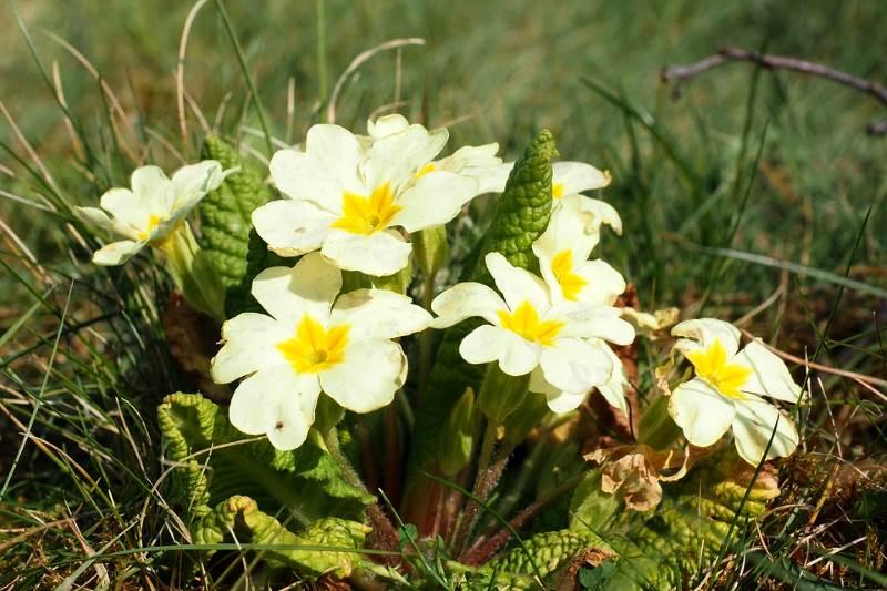 JAGLAC: Vjesnik proljeća koji jača srce i čuva pluća!