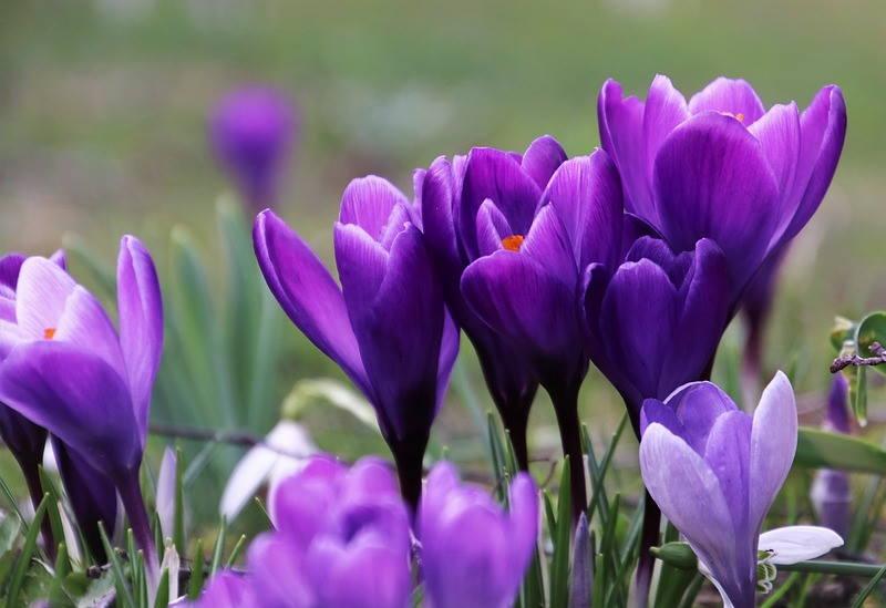 UPOZNAJTE ŠAFRAN: Od ovog lijepog cvijeta dobiva se najskuplji začin na svijetu